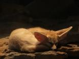 Fennek schlafend